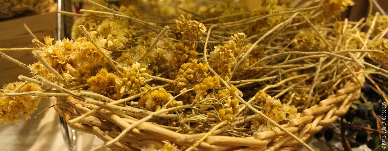 La plante immortelle de Corse